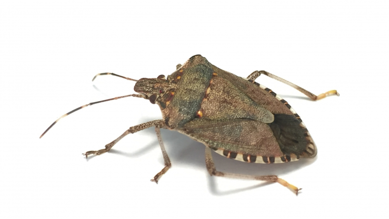 Brown Marmorated Stick Bug